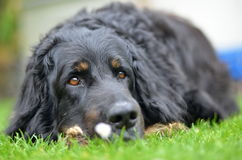 Big black howavart dog. In garden Stock Photos
