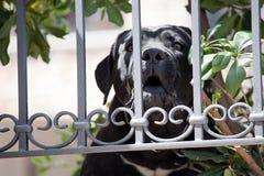 Big black Labrador Retriever dog Royalty Free Stock Photo