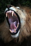 Big black maned lion shows off his teeth. A large male lion shoes off his teeth while yawning Royalty Free Stock Images