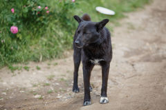 Big black mongrel dog. With short tail and closed eyes on the dirt road Stock Photo