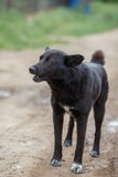 Big black mongrel dog. With short tail on the dirt road Stock Photo