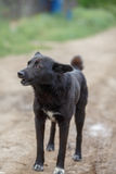 Big black mongrel dog. With short tail on the dirt road Royalty Free Stock Images