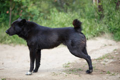 Big black mongrel dog. Side view of Big black mongrel dog with short tail on the dirt road Royalty Free Stock Photography