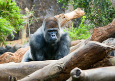 Big black monkey Royalty Free Stock Photos