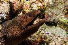 Big black moray eel Stock Image