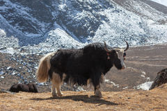 Big black Nepali yak with white tail looks into. Stock Images