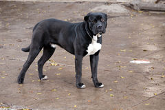 Big black pedigreed mastiff dog. Standing sideways on the street and looking to the camera Royalty Free Stock Photos