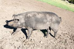 Big black pig full-size side view. On outdoor stockyard background stock photos
