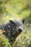 Big black pig on the grass. Big black pig on the high grass Royalty Free Stock Image