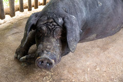 Big Black Pig in a small tribal village farm. Local food industr Royalty Free Stock Images