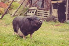 Big black a pig in the yard royalty free stock photo