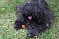 Big black puli dog Stock Image