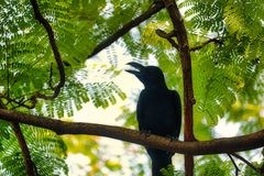The big black raven of bangkok. This unique picture shows a beautiful black raven. This great bird photo was taken in the lumpini park in Bangkok royalty free stock image