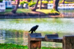 The big black raven of bangkok. This unique picture shows a beautiful black raven. This great bird photo was taken in the lumpini park in Bangkok stock photos