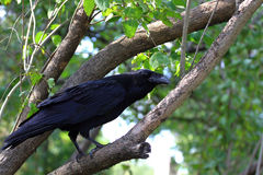 Big black raven. On duty on the tree stock image