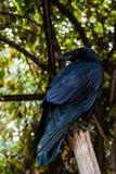 Big Black Raven sitting on a branch Stock Photos