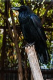 Big Black Raven sitting on a branch Stock Photography