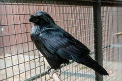 Big Black Raven sitting on a branch Royalty Free Stock Photo