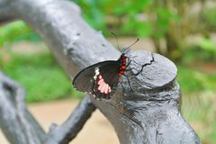 Big black with red and white tropical butterfly sitting on a tre. E Royalty Free Stock Photos