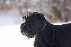 Big Black Schnauzer Dog. Portrait of a Big Black Schnauzer Dog Royalty Free Stock Photo