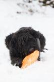 Big Black Schnauzer dog is biting an orange frisbee Royalty Free Stock Image