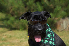 Big Black Schnauzer Dog with glasses stock photography