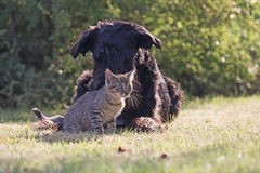 Big black schnauzer dog and grey kitten in the garden Royalty Free Stock Image