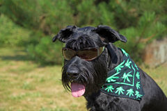 Big Black Schnauzer stock photography