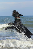 Big Black Schnauzer Dog Jumping Stock Photography