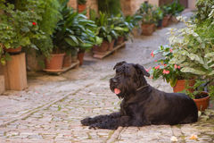Big Black Schnauzer dog is lying in the flower street Royalty Free Stock Image