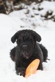 Big Black Schnauzer dog is plying with an orange frisbee Stock Photography