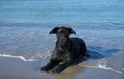 Big Black Schnauzer on vacation at the sea Royalty Free Stock Photos