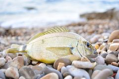 Black Sea Diplodus annularis on the seashore Royalty Free Stock Photography
