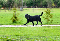 Big black smart dog walking and fetching stick Stock Photo