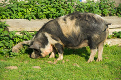Big black sniffing pig in summertime Royalty Free Stock Images
