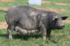 Big black sow. Ready to have pigs Stock Image