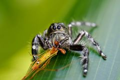 Big black spider on the leaves Stock Photos