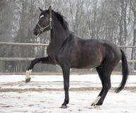 Big black stallion Royalty Free Stock Image