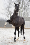 Big black stallion Royalty Free Stock Photos