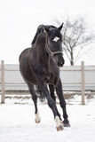 Big black stallion Stock Images