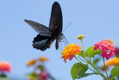 Big black swallowtail butterfly flying Royalty Free Stock Photo
