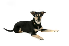 Big black and tan dog on high key background Stock Photo