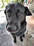 Big black dog sits. closeup stock images