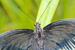 Big black and white butterfly on green leaf, close up photo.  stock image