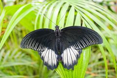 Big black and white butterfly on green leaf, photo to wings.  stock image