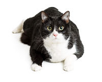 Big Black and White Cat. Large overweight black and white domestic cat lying down over white background Stock Photo