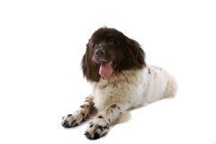 Big black and white dog Stock Photography