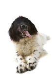 Big black and white dog Royalty Free Stock Image