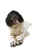 Big black and white dog Royalty Free Stock Image