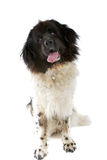 Big black and white dog Royalty Free Stock Photo